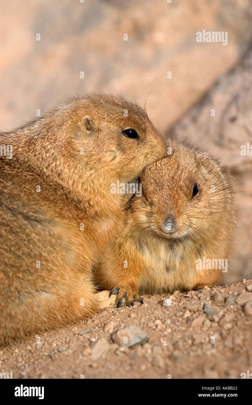 Prairie Dogs Genus Cynomys Arizona USA - Stock Image