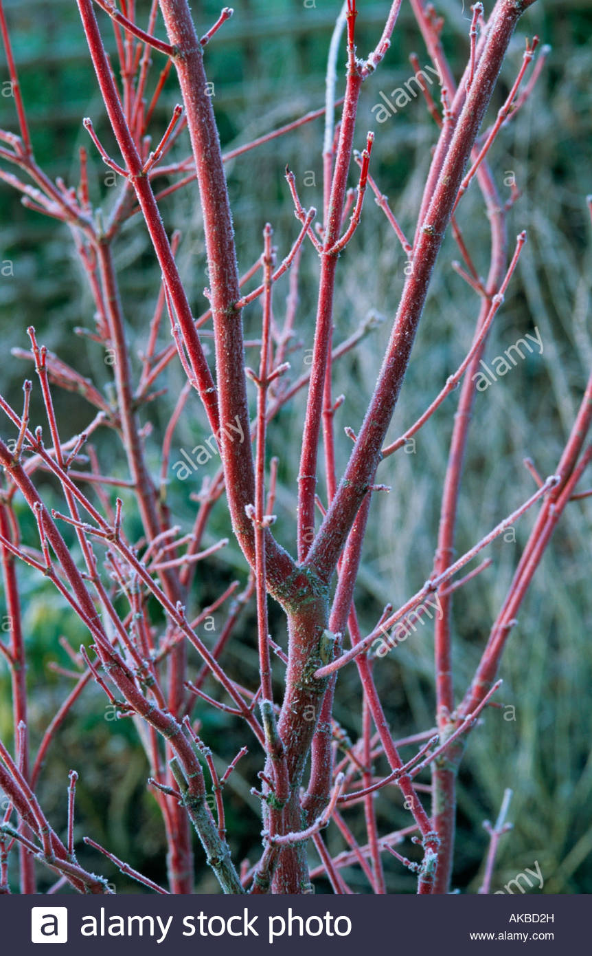 Acer Stems Winter Stock Photos Acer Stems Winter Stock Images Alamy