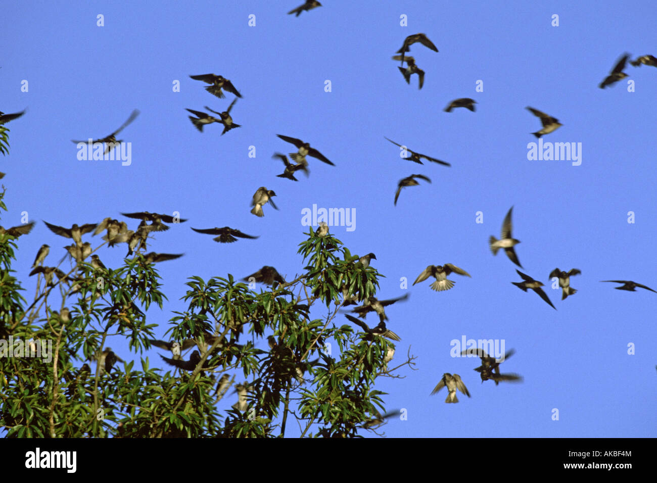 Purple Martin Flock - Stock Image