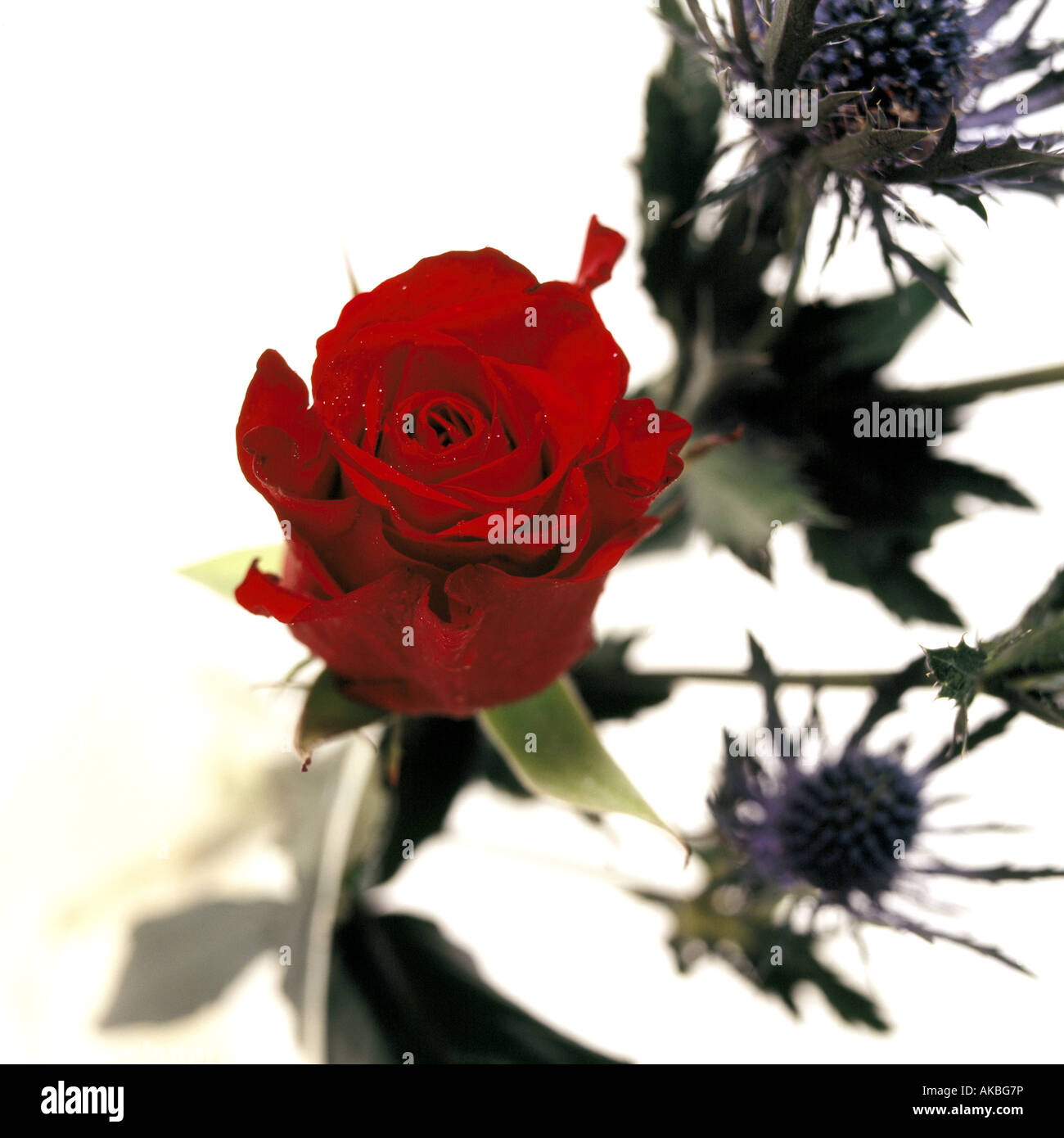 Red Rose with Thistle\'s in the background, ideal picture for a Stock ...