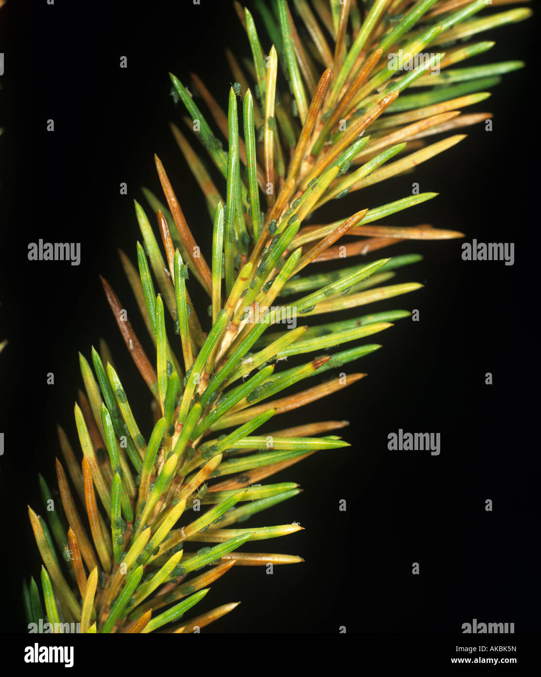 Green spruce aphid Elatobium abietinum infestation and damage on Norway spruce needles - Stock Image