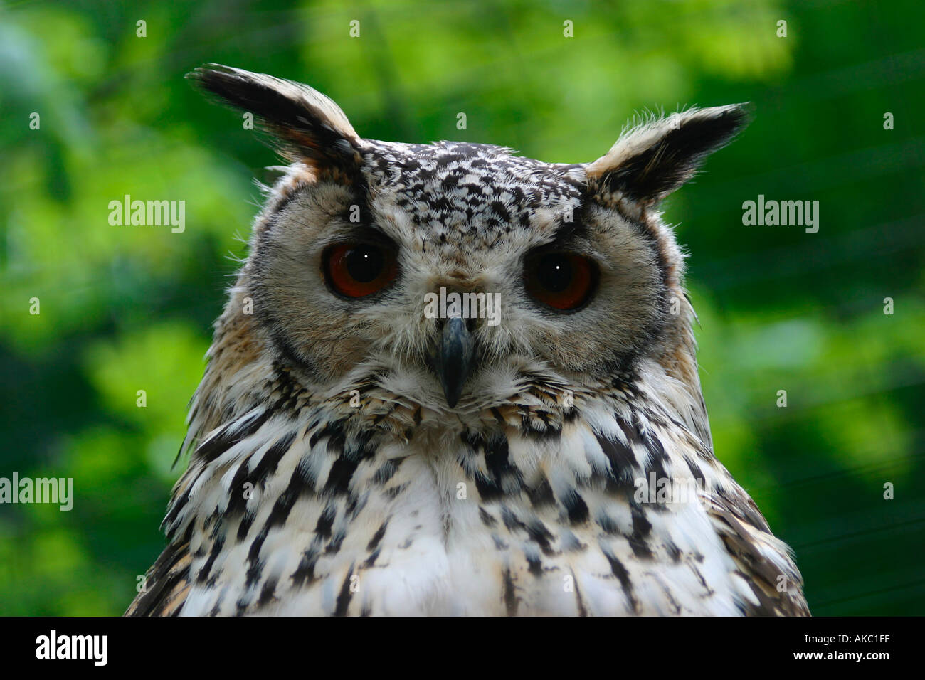 Owl staring with piercing gaze - Stock Image