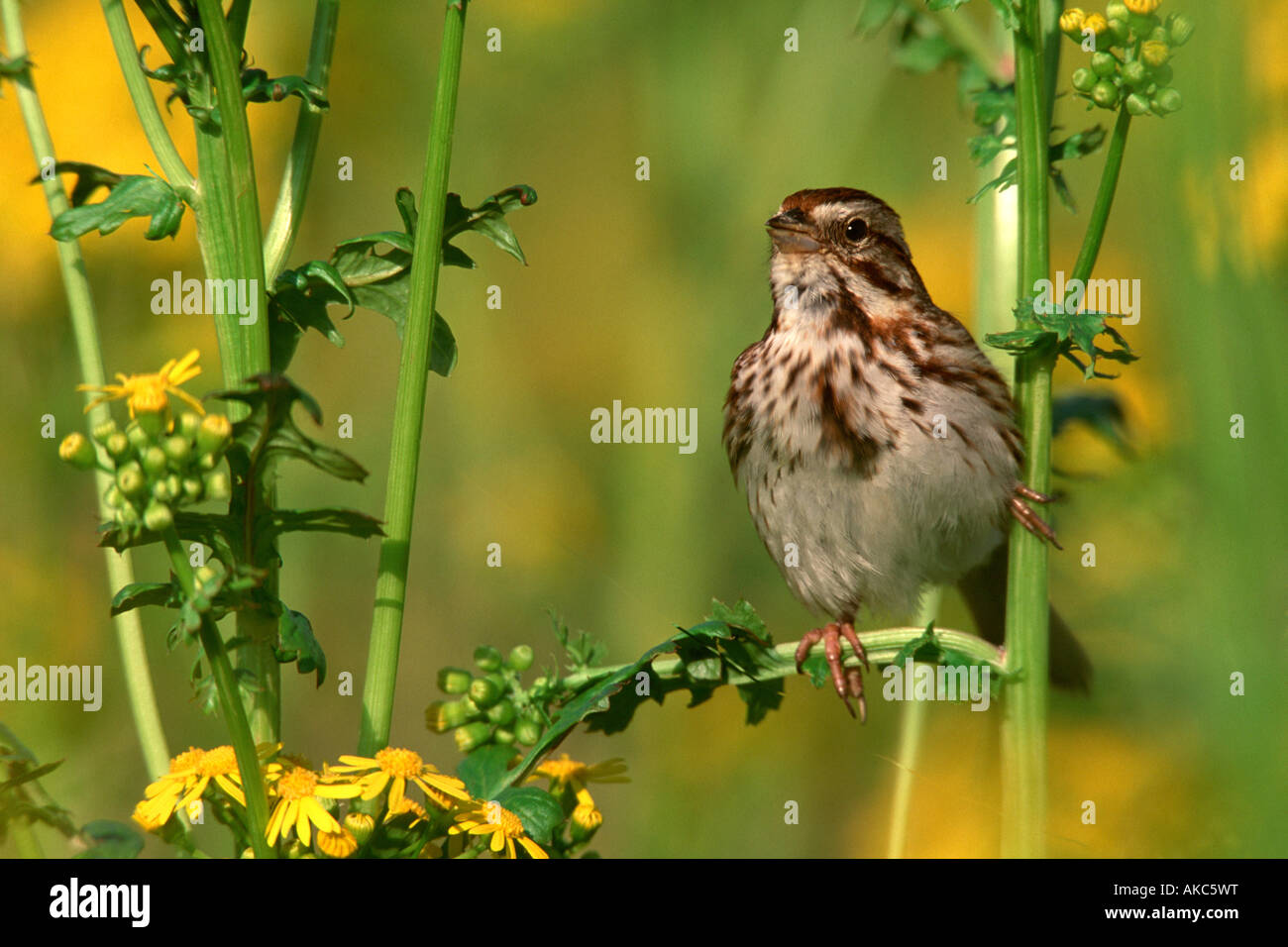 Song Sparrow in Mustard Flowers - Stock Image