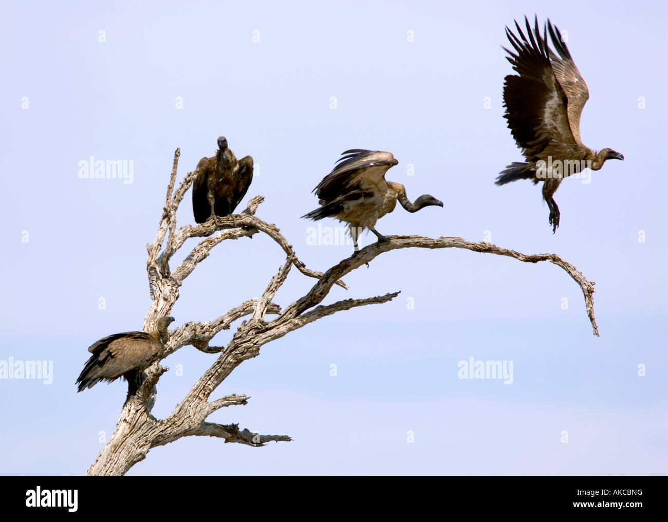 African white-backed vultures, gyps africanus, take flight from a perch in Chobe National Park game reserve in Botswana - Stock Image