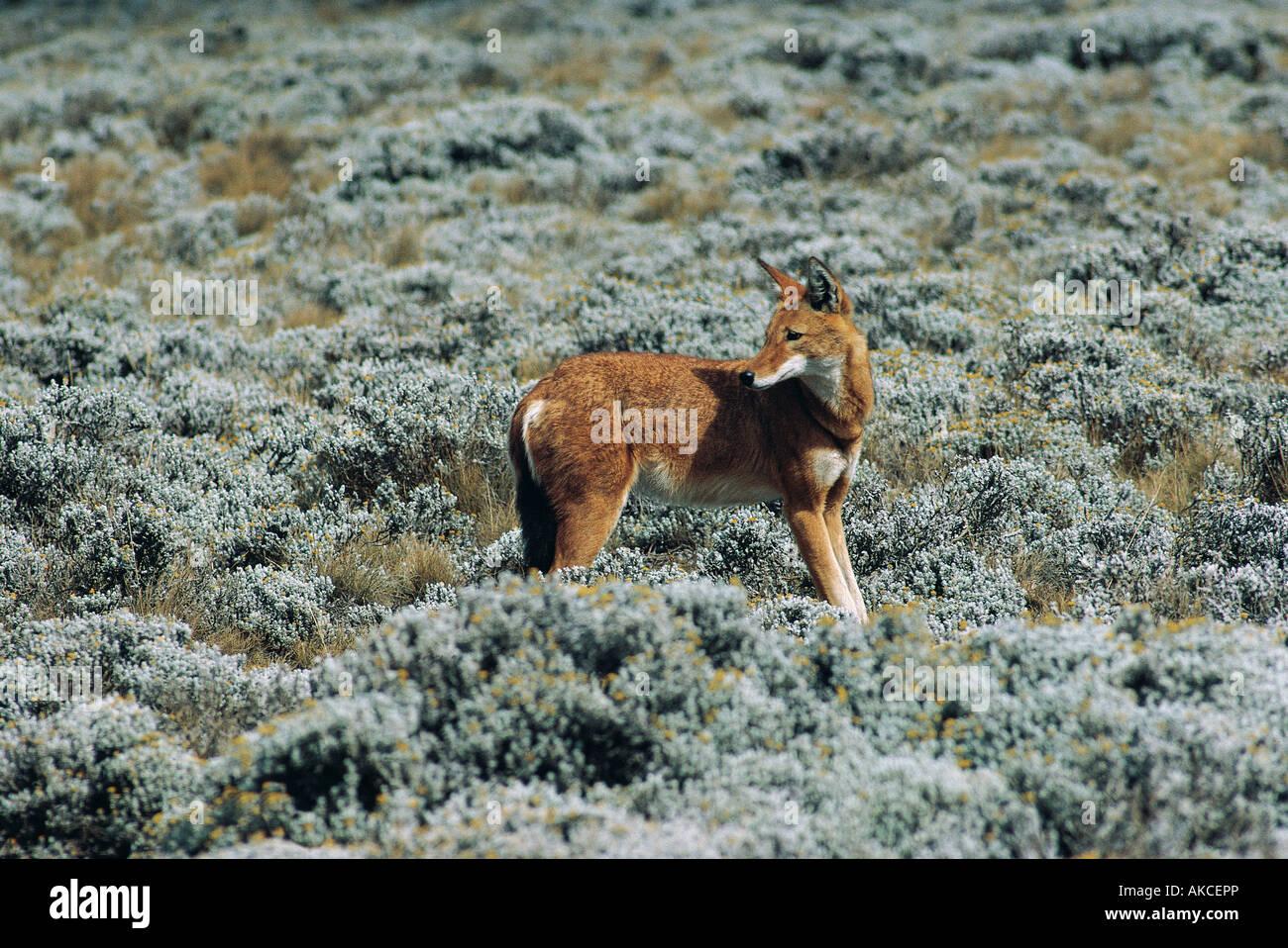 Ethiopian Wolf Stock Photos & Ethiopian Wolf Stock Images ...