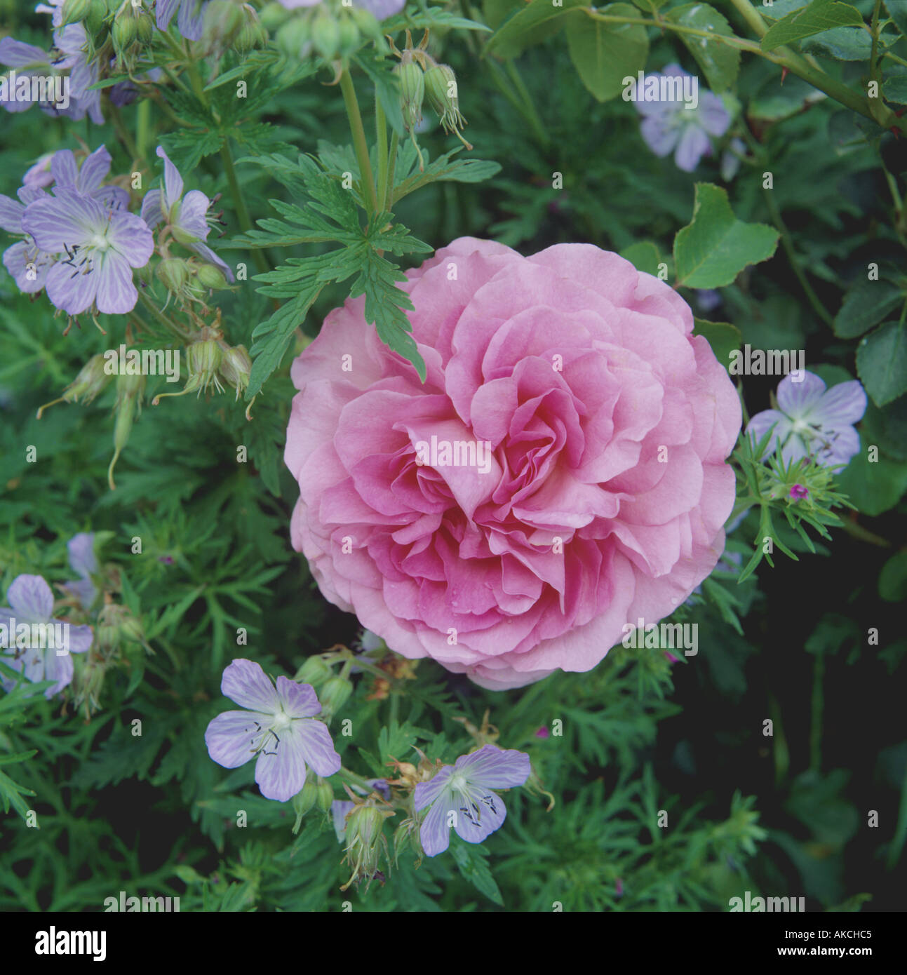 Rosa Warwick Castle Geranium - Stock Image