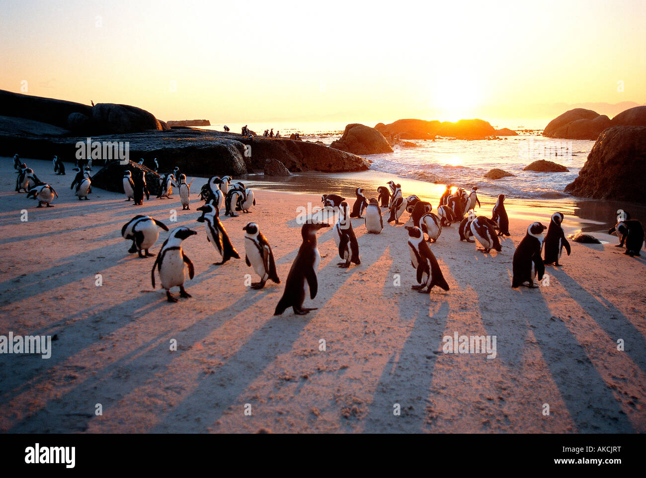 Jackass penguins on the beach at sunset The Boulders bird sanctuary near Simonstown West Cape South Africa - Stock Image