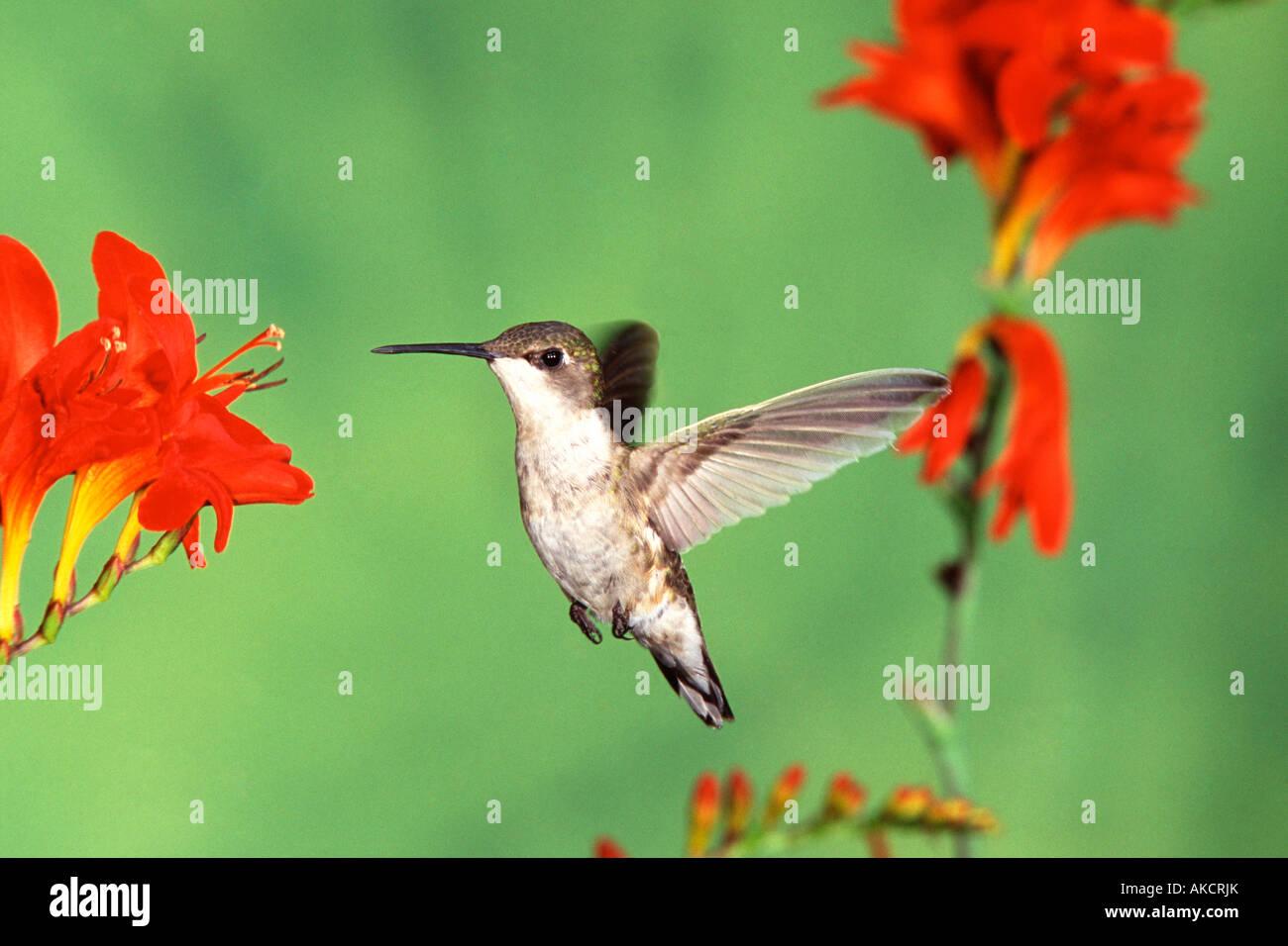 Female Ruby throated Hummingbird and Lucifer Crocosmia flowers Stock Photo