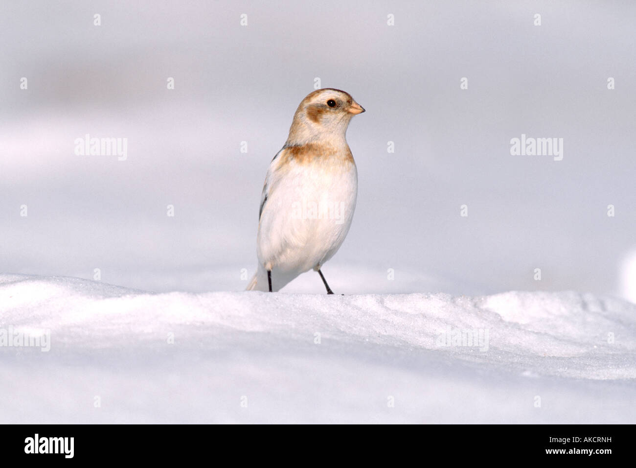 Snow Bunting - Stock Image