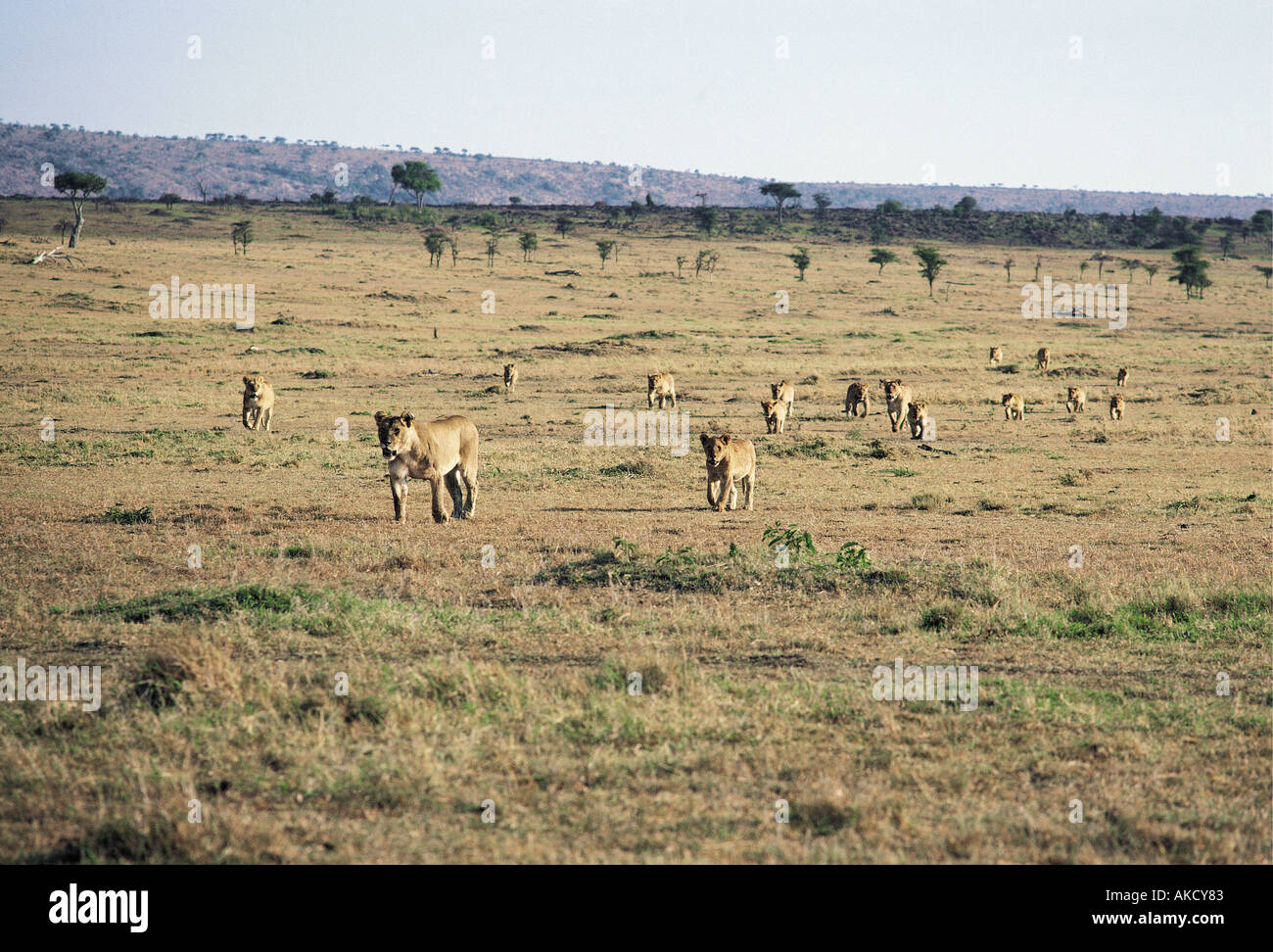 Sixteen lionesses and cubs moving across open grass plains Masai Mara National Reserve Kenya East Africa - Stock Image
