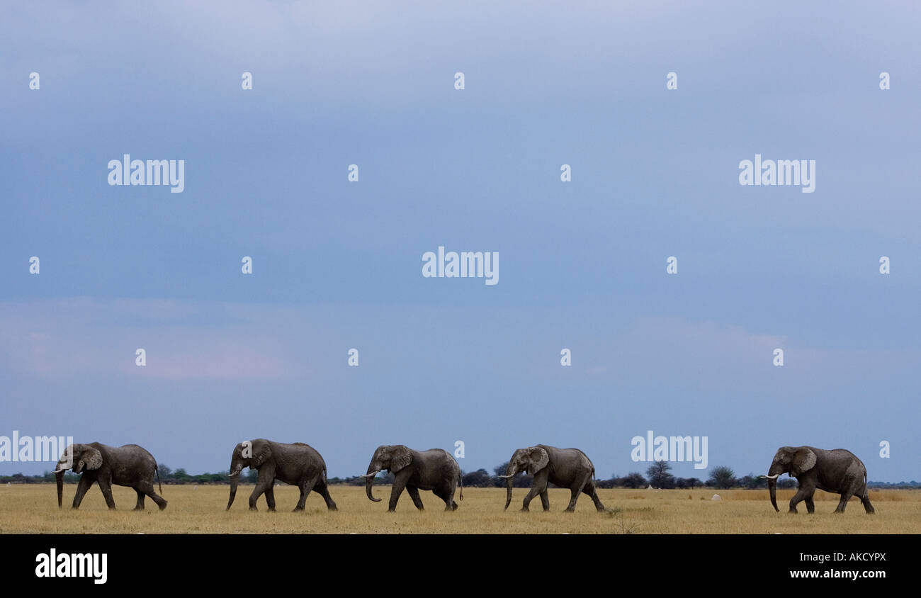 A herd of five elephant, loxodonta Africana, cross a plain at evening in Nxai Pan in Botswana, Africa - Stock Image