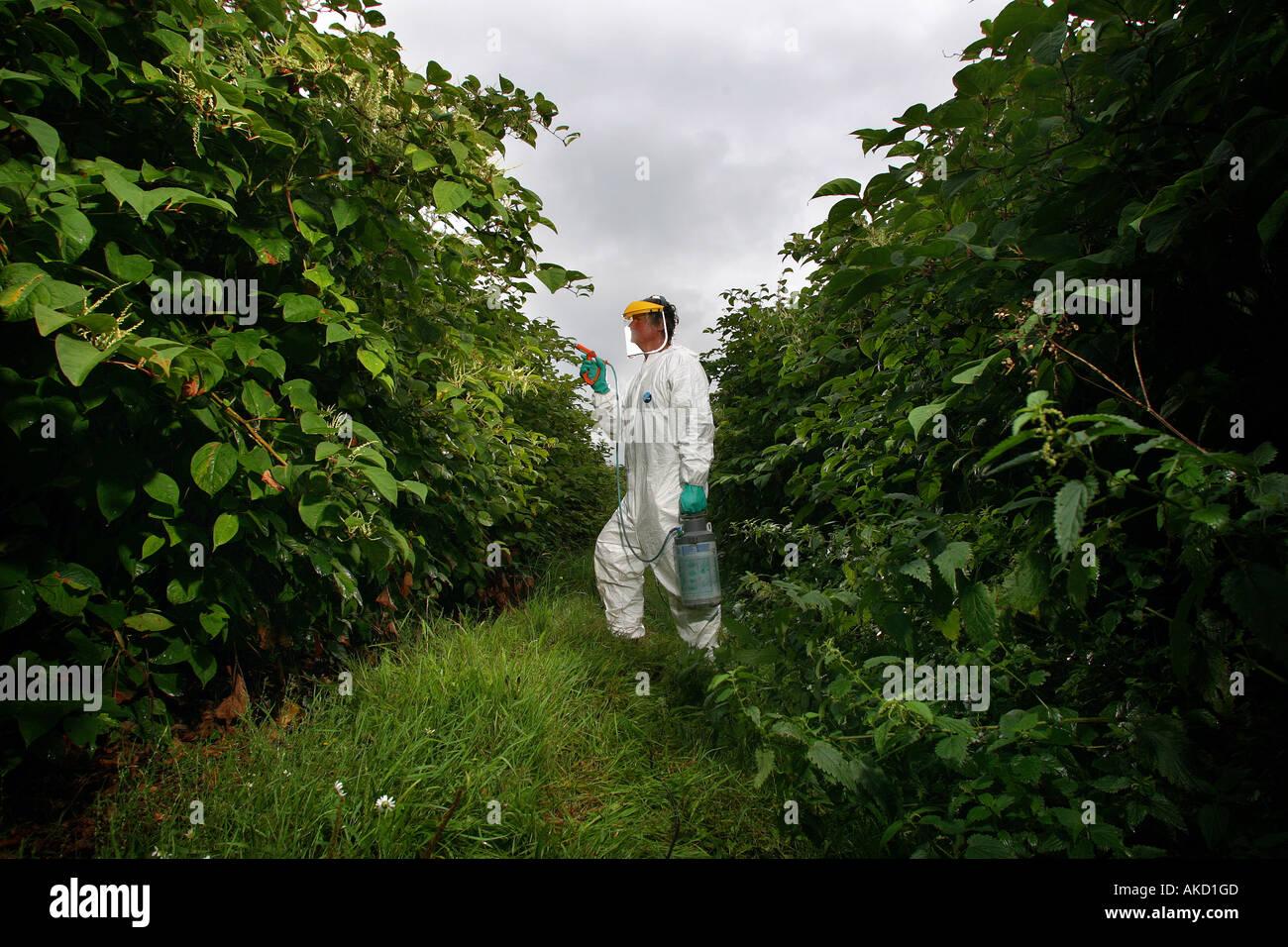 A pest eradication expert poisons Japanese knotweed in Cornwall England UK Stock Photo