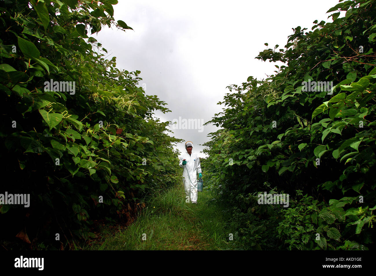 A pest eradication expert prepares to poison Japanese knotweed in Cornwall England UK Stock Photo