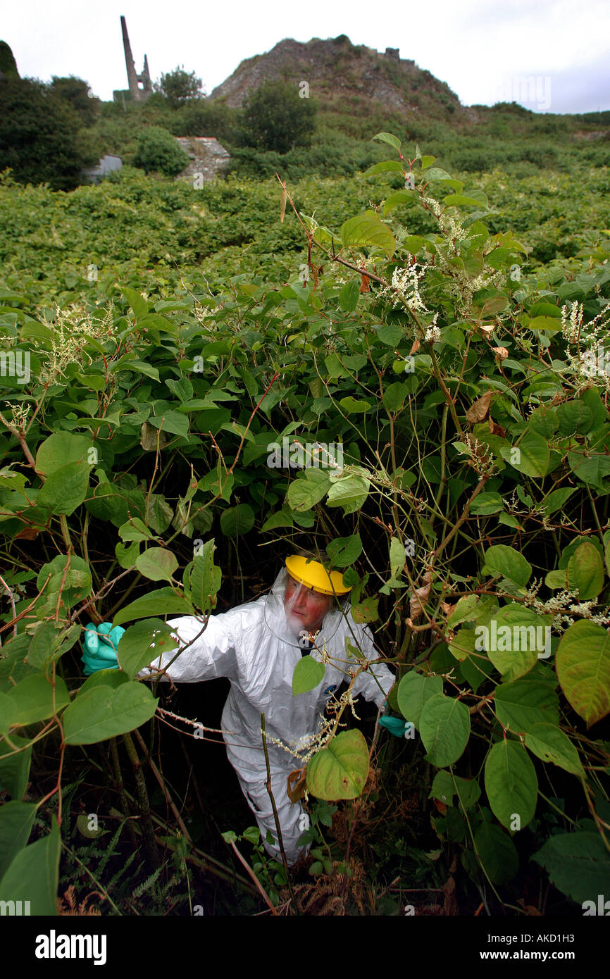 A pest eradication expert poisons Japanese knotweed in Cornwall England UK Stock Photo