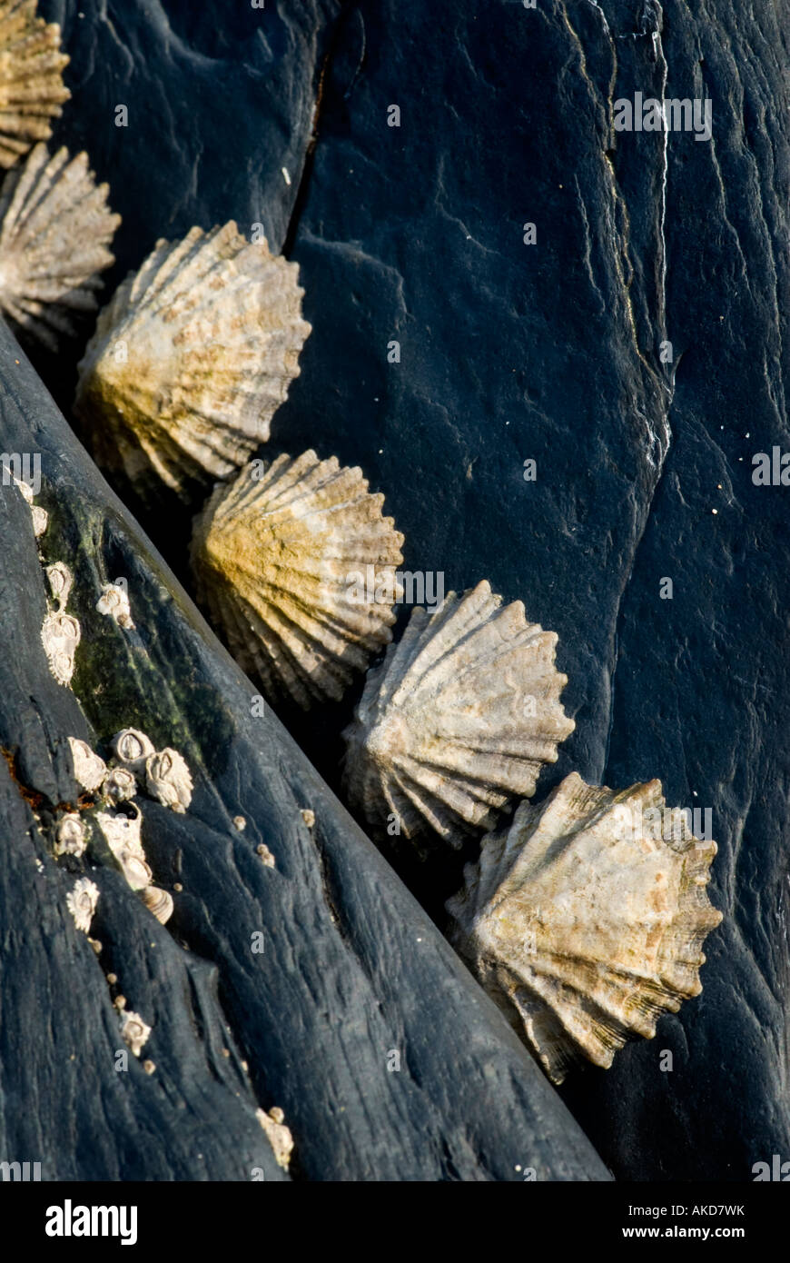 Adherent common limpets on rocks, Welsh coast. - Stock Image