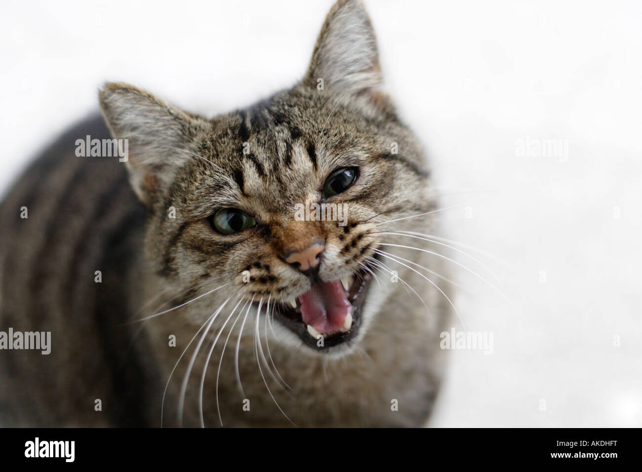 Hungry Tom cat jowling - Stock Image