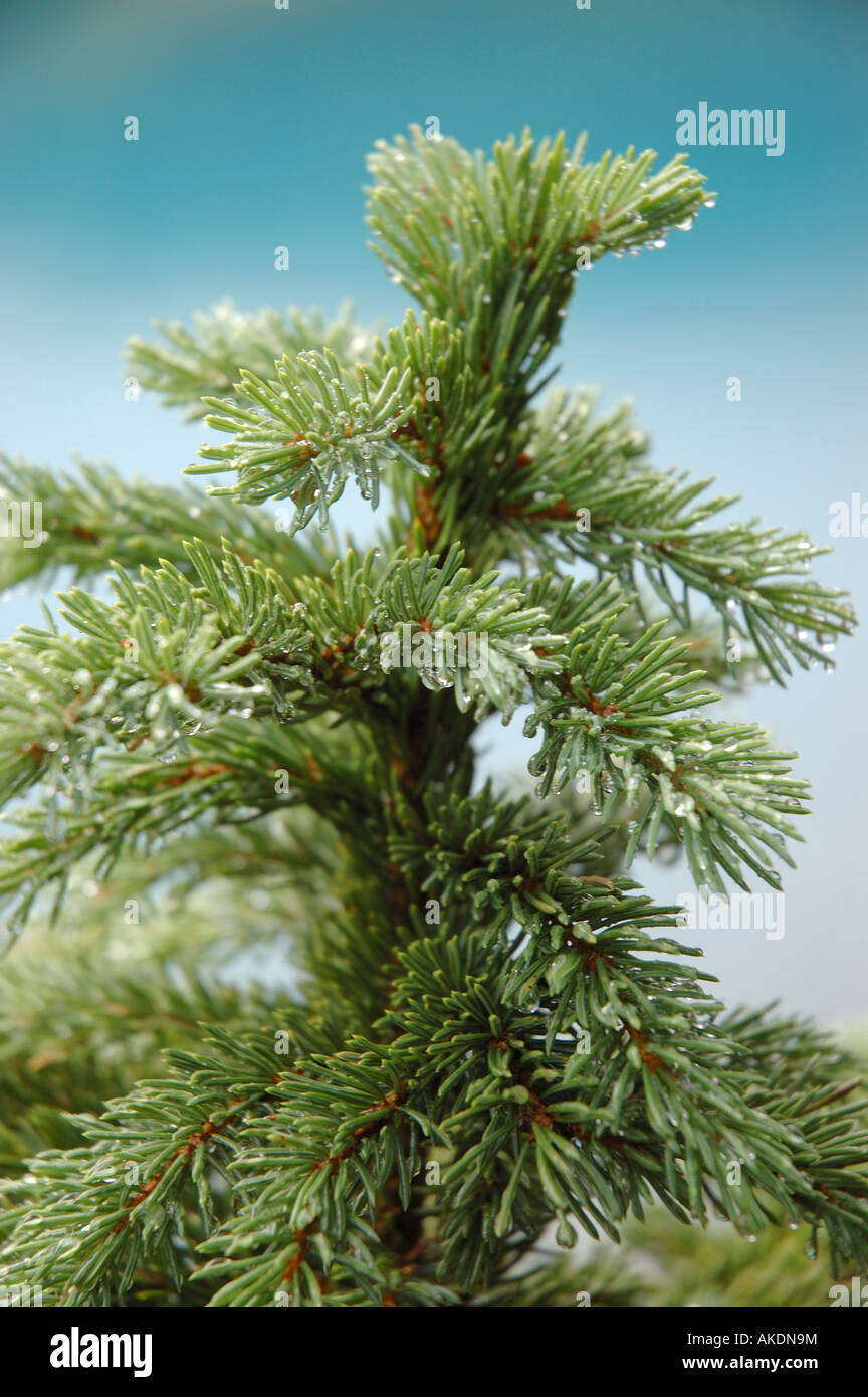 Top of conifer fir tree - Stock Image
