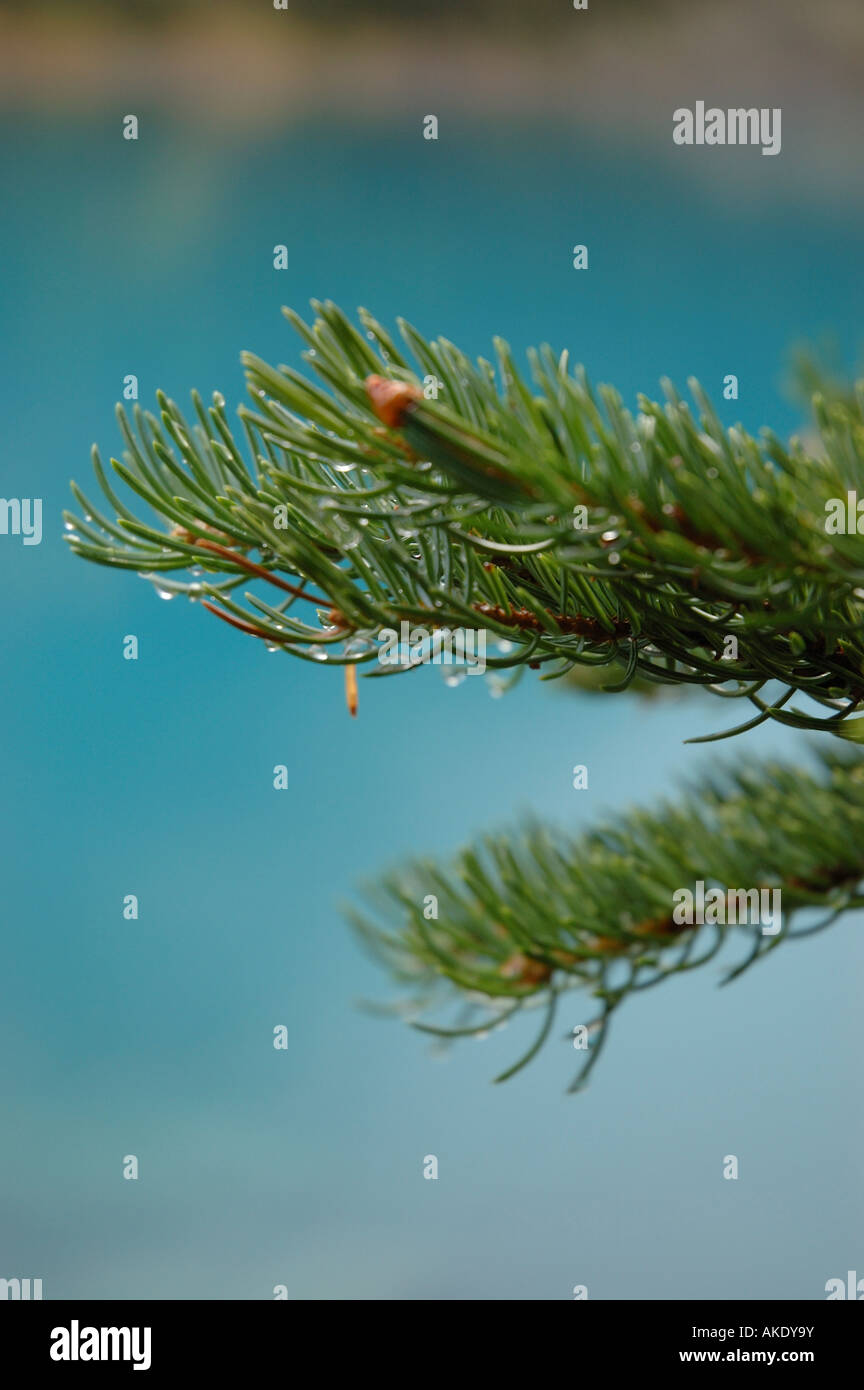 Branch of conifer fir tree - Stock Image