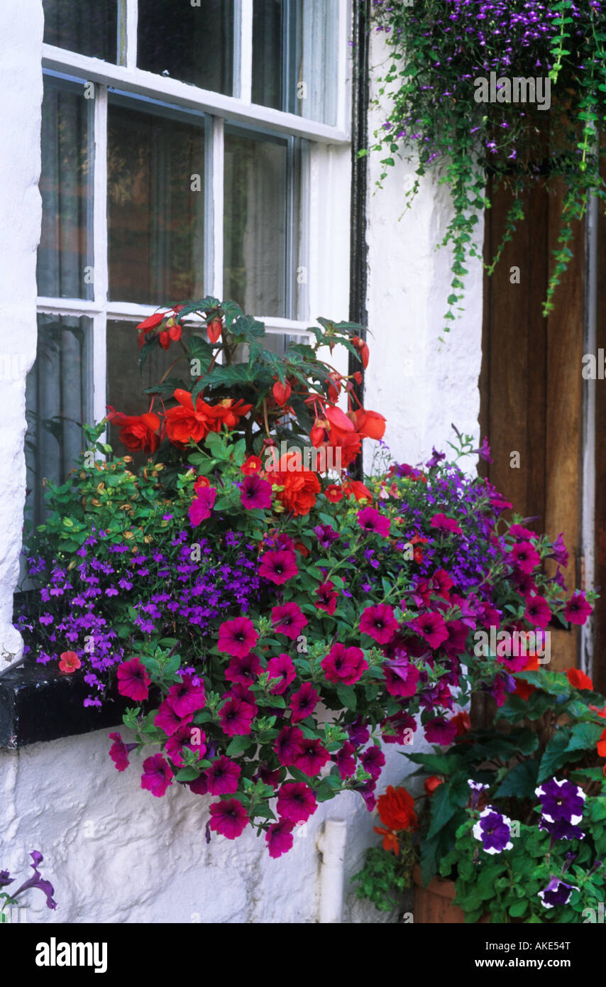 Summer flowering colourful window box with Petunias Begonias and Lobelia - Stock Image