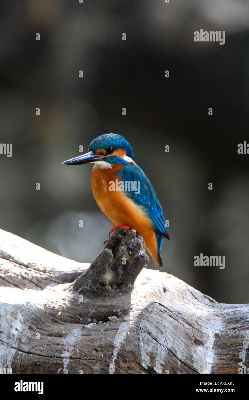 India Bharatpur national park common kingfisher - Stock Image