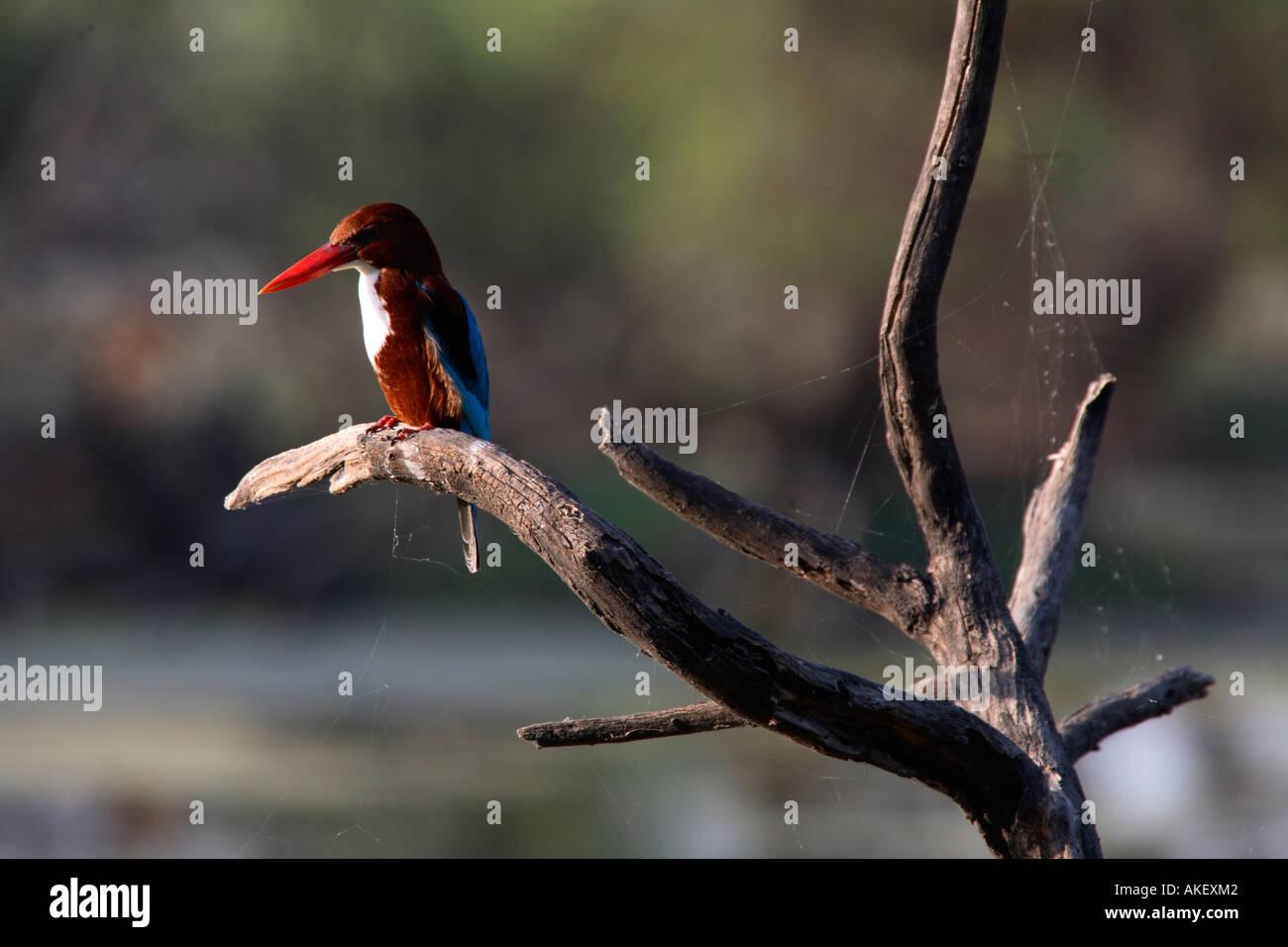 India Bharatpur national park white breasted kingfisher - Stock Image