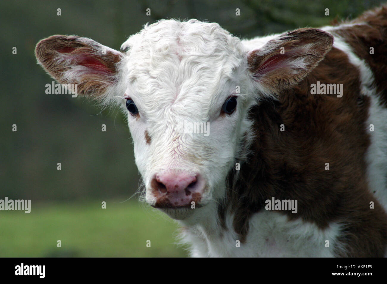 calf face - Stock Image