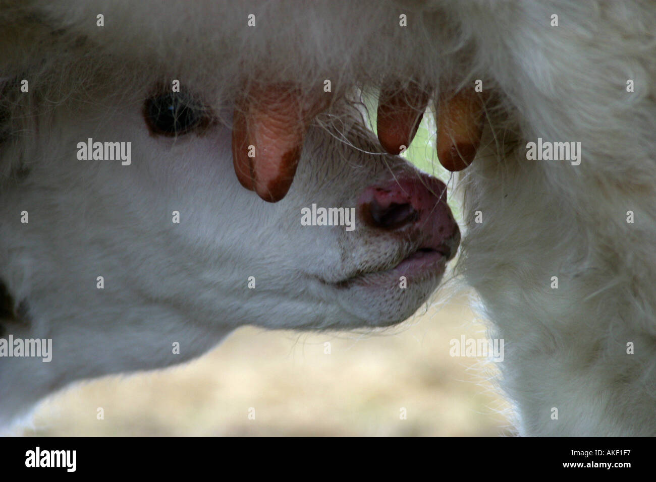 calf under cows udders - Stock Image