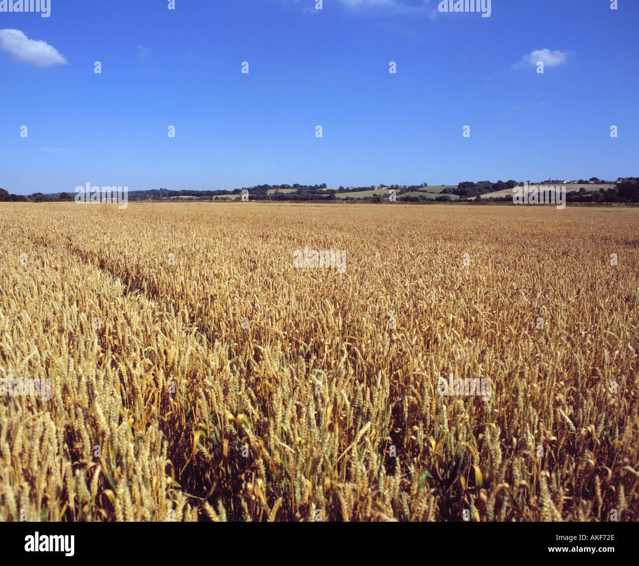 Fields / Crops, Corn - Stock Image