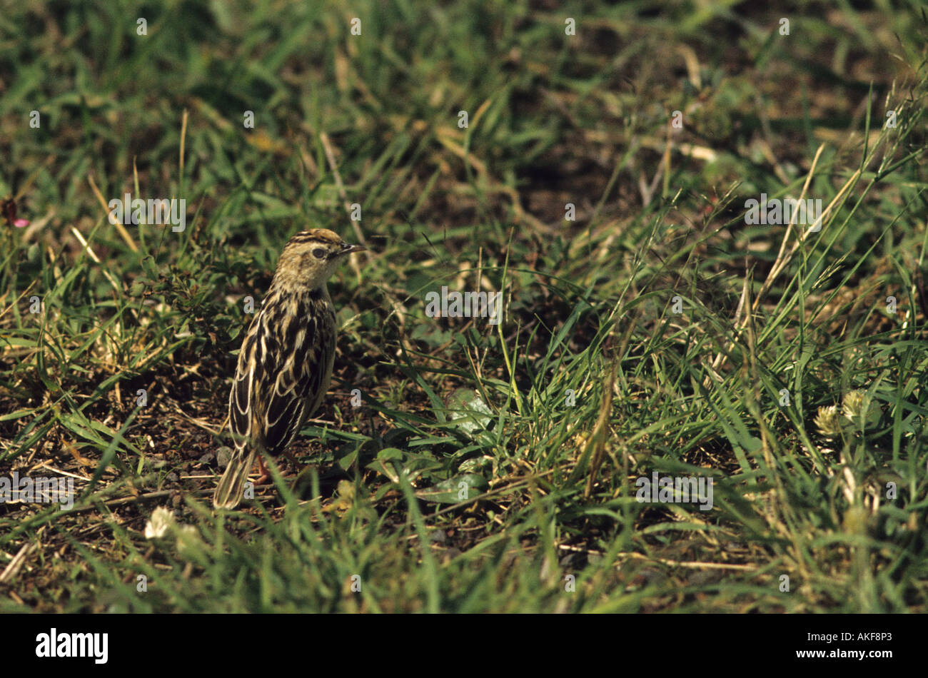 Pectoral patch Cisticola Cisticola brunnescens Standing on ground - Stock Image