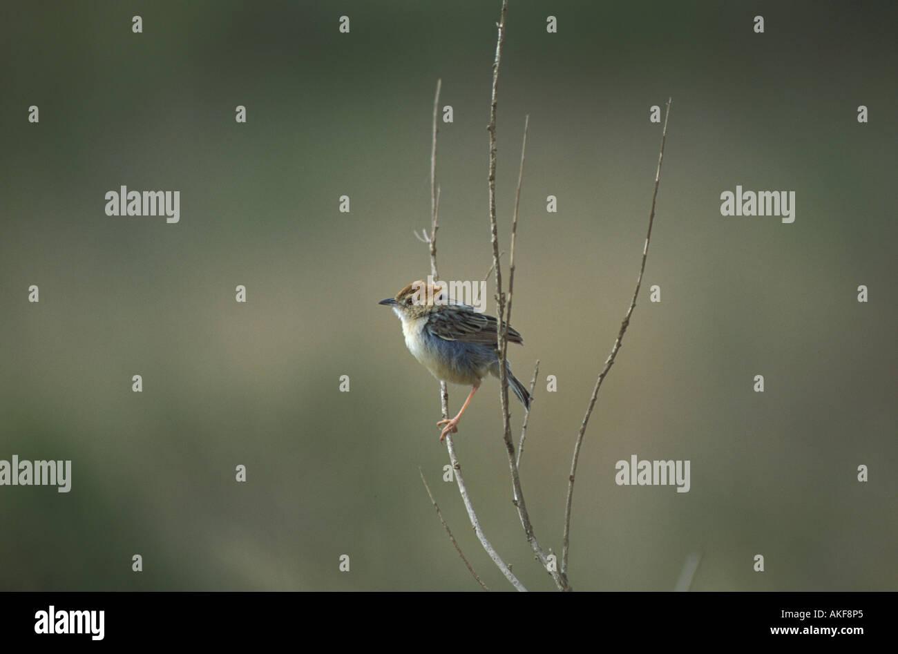 Winding Cisticola Cisticola galactotes Perched on branch - Stock Image