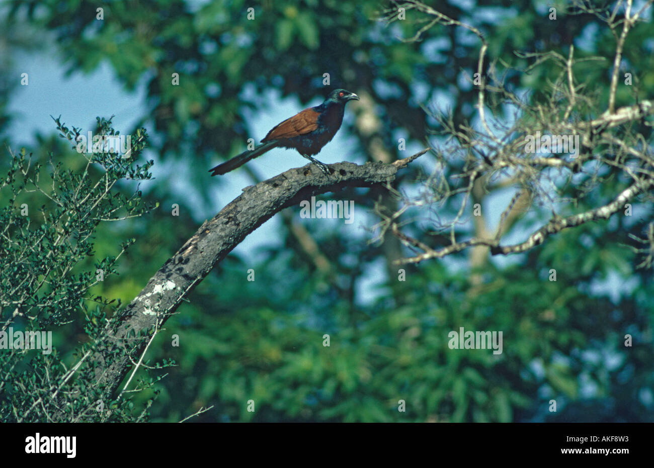 Southern Coucal Centropus sinensis Perched on branch - Stock Image