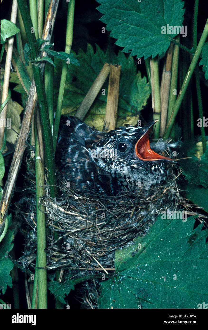 Cuckoo young Cuculus canorus In Reed Warbler s nest Acrocephalus scirpaceus - Stock Image
