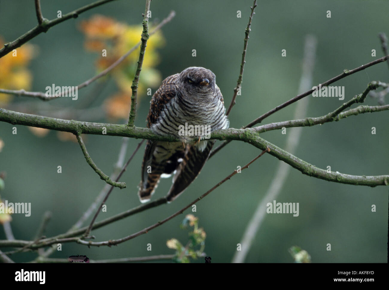 Cuckoo Cuculus canorus Perched front view September - Stock Image