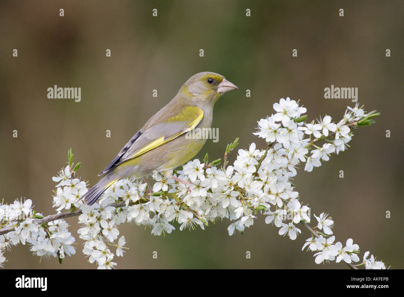 Greenfinch on Blackthorn Blossom 3 Stock Photo