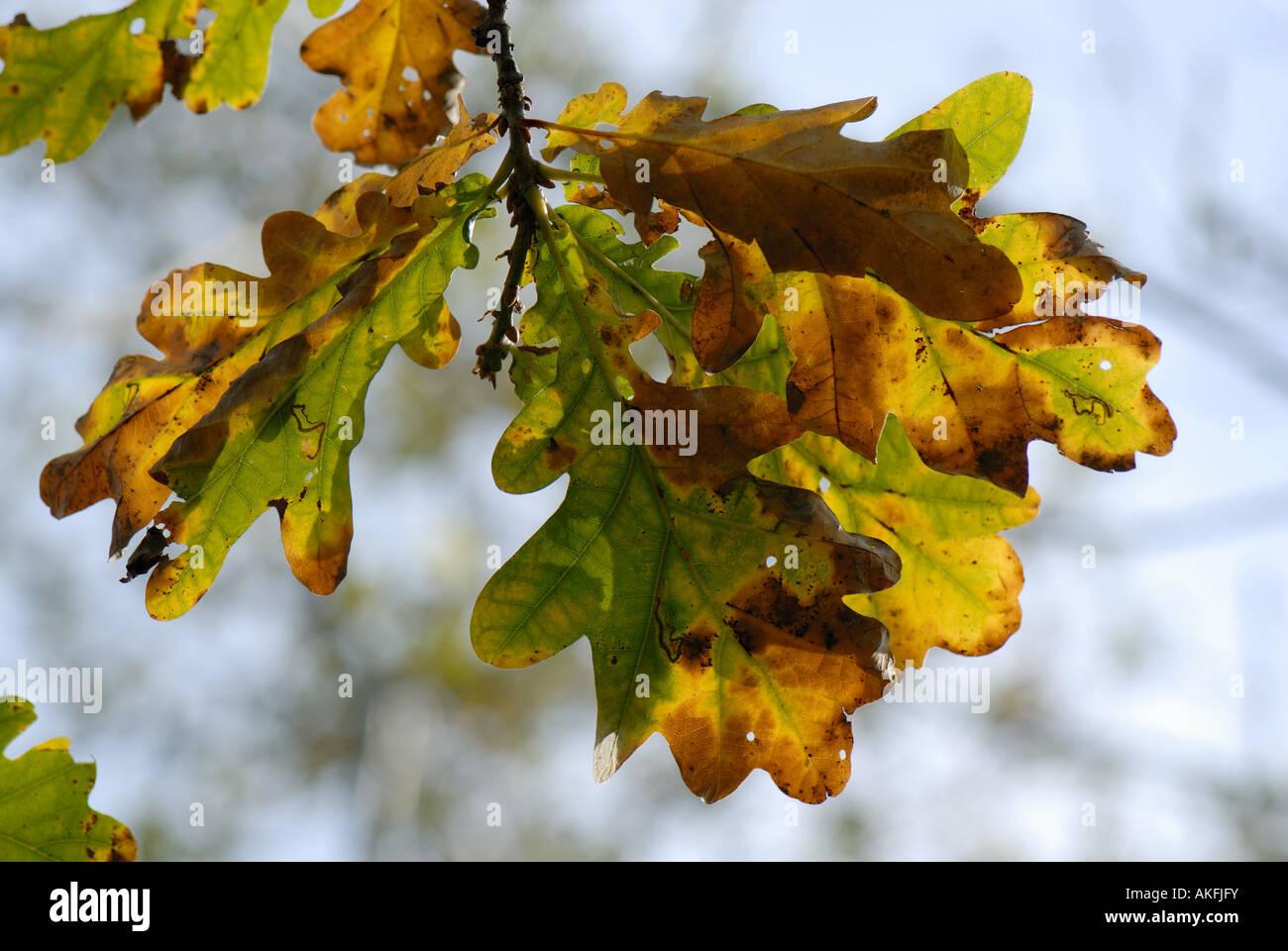 Oak Quercus robur leaves changing colour in autumn - Stock Image