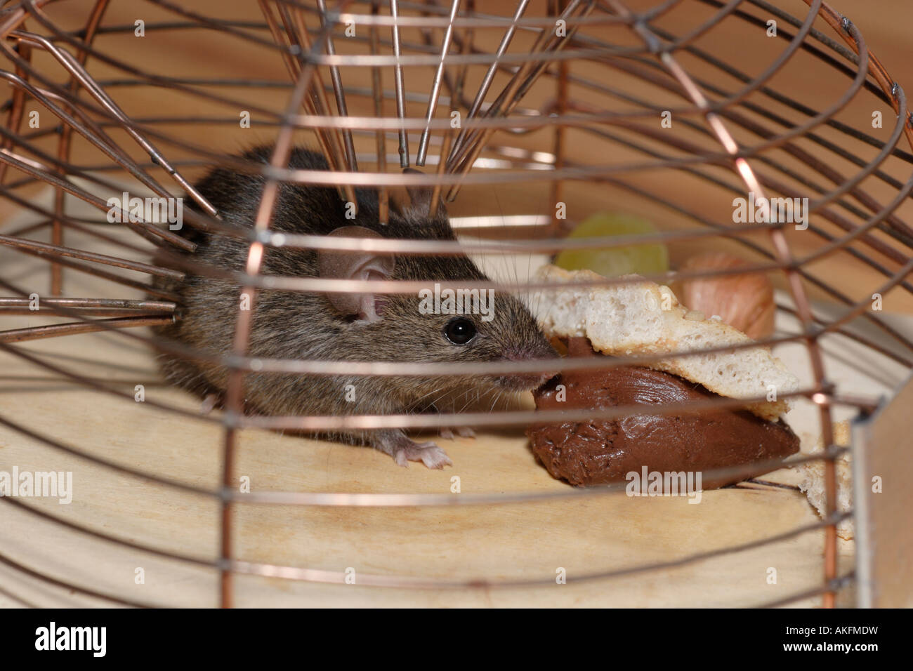 Scared house mouse in live trap - Stock Image