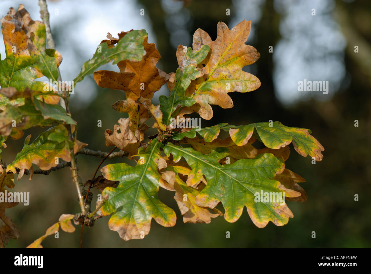 Oak Quercus robur leaves changing colour in autumn - Stock Image