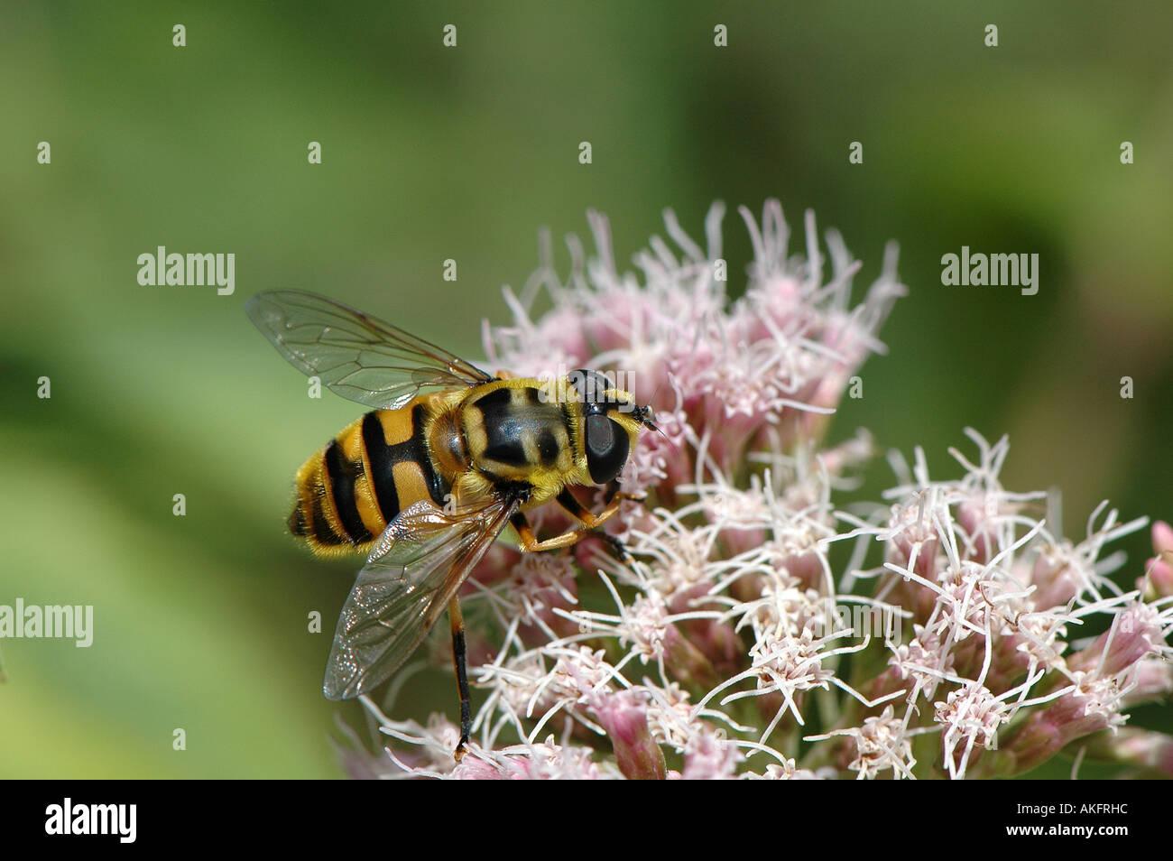 Hover fly - Milsea Crabroniformis Stock Photo: 8564827 - Alamy