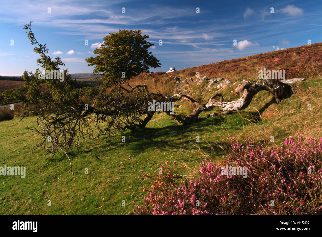 Fallen tree and summer heather at Headland Warren Dartmoor Devon UK - Stock Image