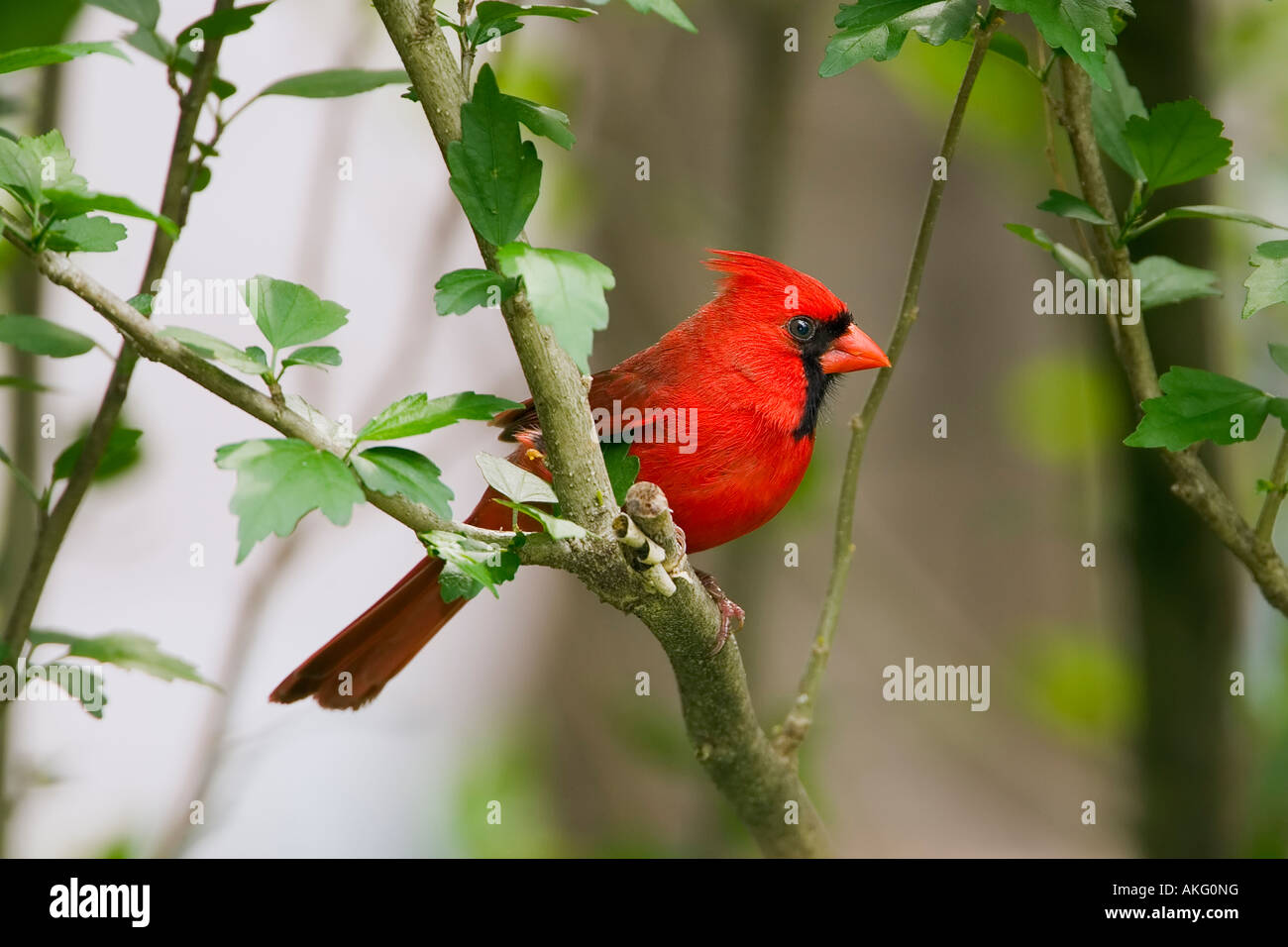 North American Cardinal (Male) on Tree Branch - Stock Image