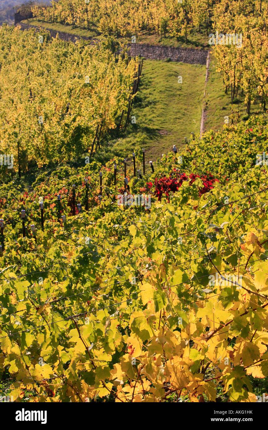 golden vineyard in autumn Höhnstedt Germany fall nature landscape Stock Photo