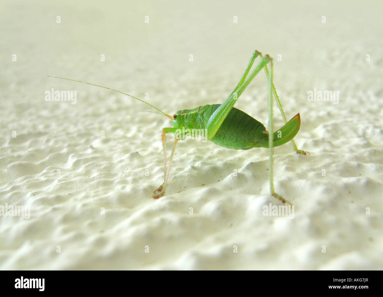 grashopper Grashuepfer Stock Photo