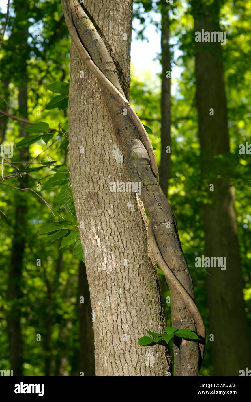 Trunk of a Bald Cypress (Taxodium distichum) with a vine in Congaree National Park, South Carolina, United States Stock Photo