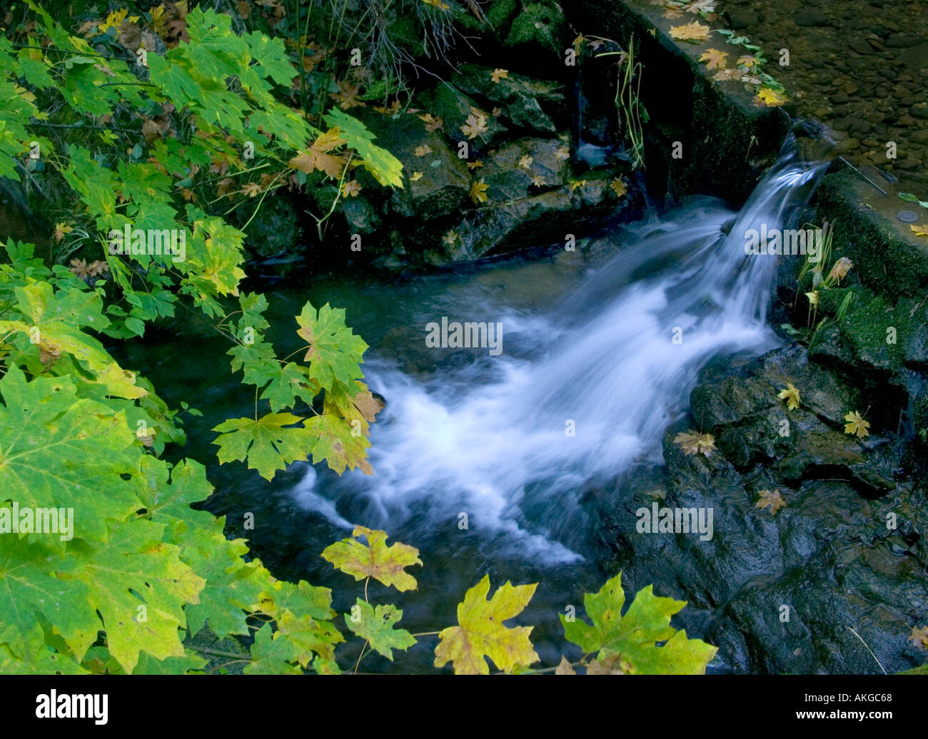 A small stream bracketed by maple leaves in the forest of the Sierra Nevada mountains of California - Stock Image
