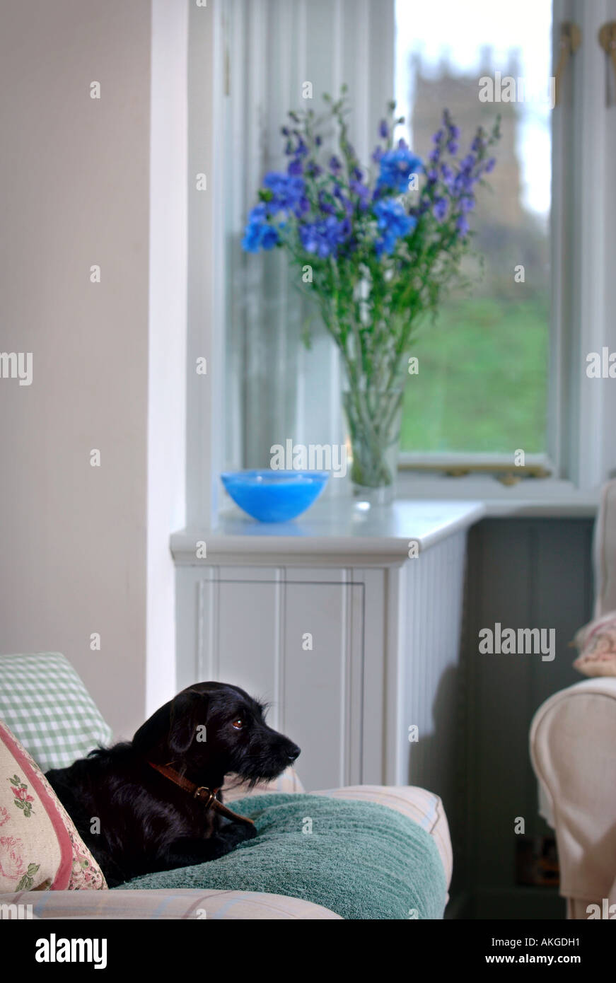 A SMALL BLACK TERRIER DOG ON A SETTEE IN THE LOUNGE OF A TIMBER FRAMED HOUSE UK - Stock Image