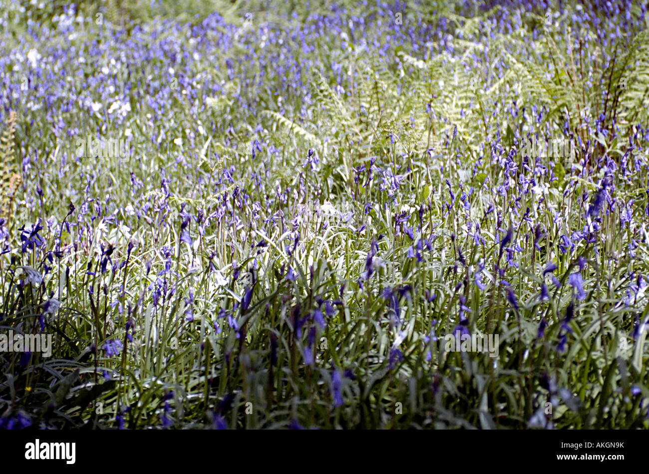 a woodland filled with flowering blue bells in the uk Stock Photo