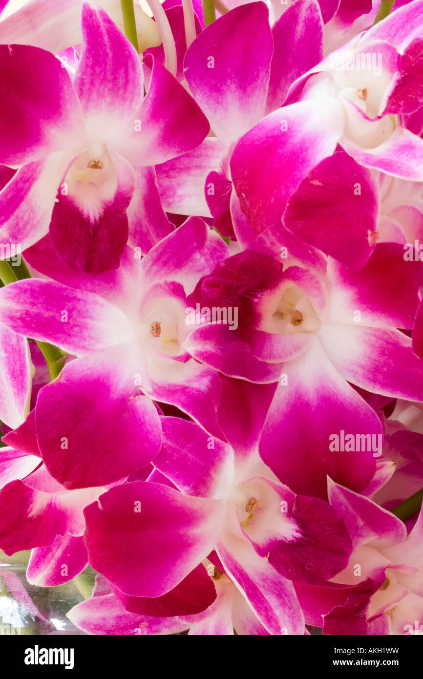 Closeup of a bouquet of pink orchid flowers Orchidaceae - Stock Image