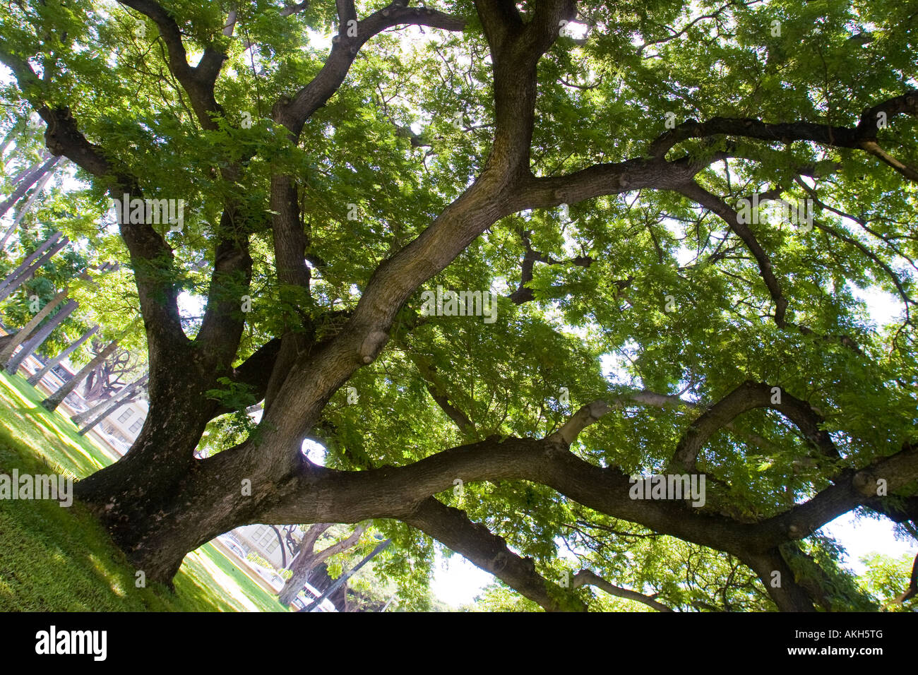Monkey Pod Tree also called Rain Tree or ohai on Oahu Hawaii - Latin name is Samanea Saman - Stock Image