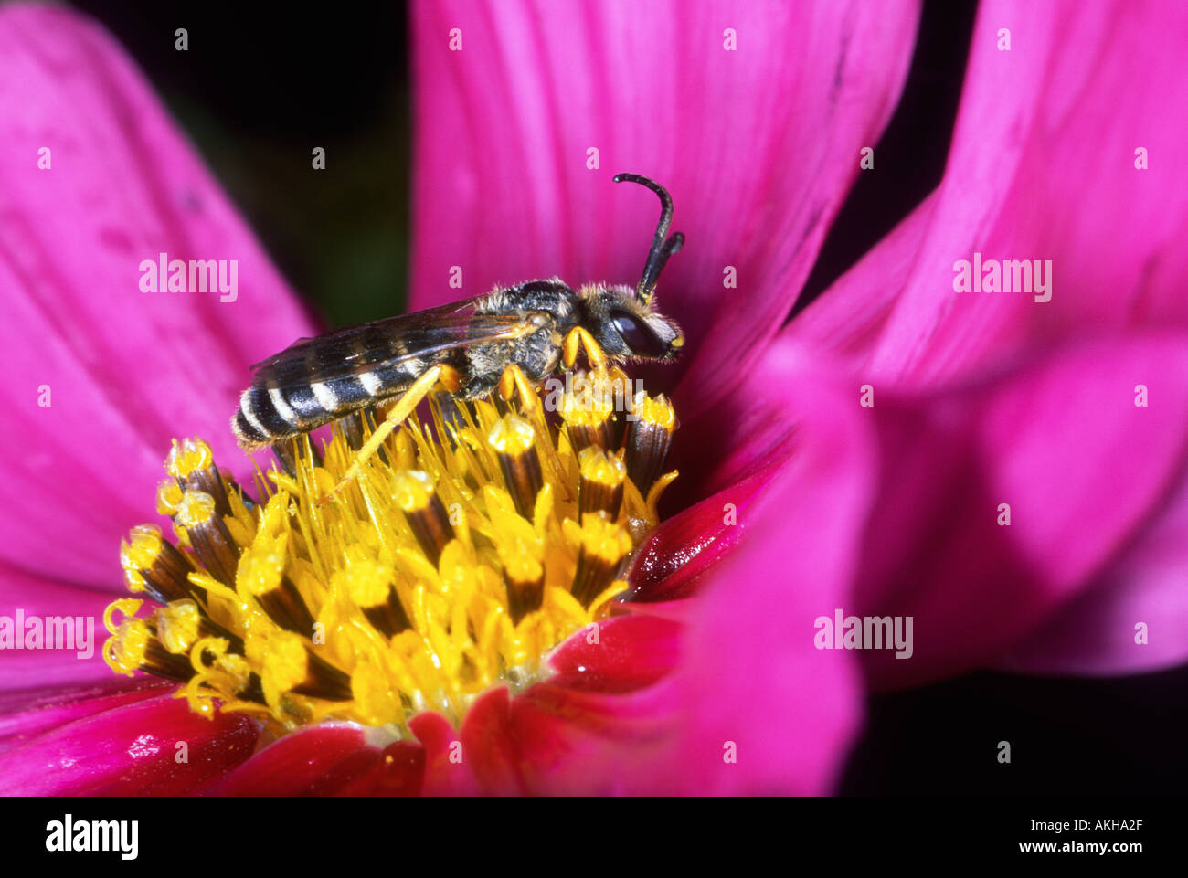 Bee, Halictus sp. Collecting nectar on flower - Stock Image