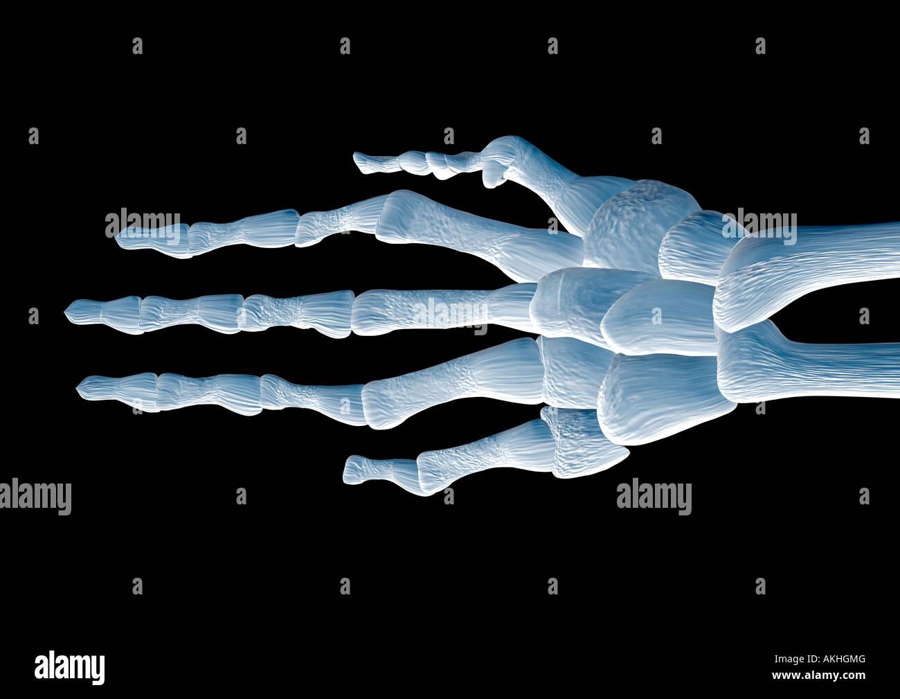 skeleton of a hand Handskelett - Stock Image